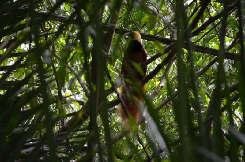 Port Moresby Nature Park Paradise bird